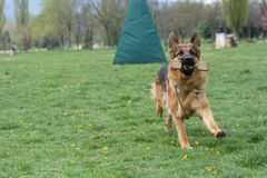 Berger allemand Running Through l'herbe image stock