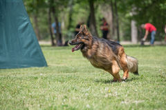 Berger allemand Running Through l'herbe photos stock
