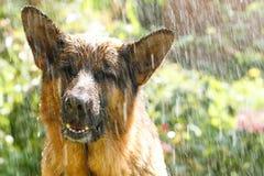 Berger allemand sous la pluie images stock