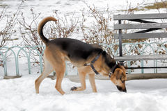 Berger allemand Walking sur la neige Photographie stock