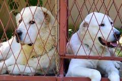 Berger asiatique adulte de deux jeunes se situant dans la cage à côté d'un une autre Image stock