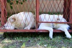 Berger asiatique adulte de deux jeunes slepping dans la cage à côté d'un une autre Image libre de droits