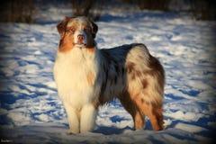 Berger australien dans la neige Photographie stock libre de droits
