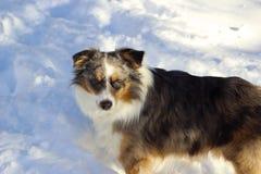 Berger australien dans la neige Images libres de droits