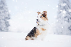 Berger australien dans la neige Images stock