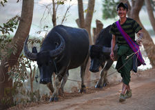 Berger avec ses buffles dans le lac Inle, Myanmar Photo stock
