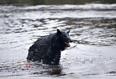 Berger belge (chien de berger belge) Image libre de droits