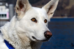 Berger Blanc Suisse Royalty Free Stock Image