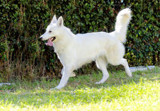 Berger Blanc Suisse Royalty Free Stock Photo