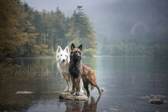 Berger blanc suisse and belgian shepherd at a rock in a beautiful landscape bewteen mountains. Two dogs at lake. stock photo