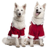 Berger Blanc Suisse dogs Royalty Free Stock Photos
