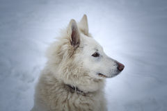 Berger Blanc Suisse guarded territory. Winter Royalty Free Stock Photos