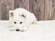 Berger Blanc Suisse puppy Royalty Free Stock Images