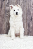 Berger Blanc Suisse puppy Stock Images