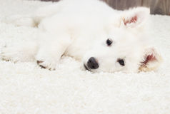 Berger Blanc Suisse puppy Stock Photo