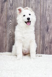 Berger Blanc Suisse puppy Stock Photos