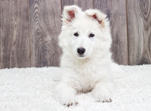 Berger Blanc Suisse puppy Royalty Free Stock Photography