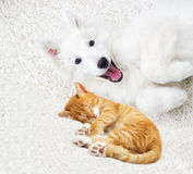 Berger Blanc Suisse puppy Stock Photography