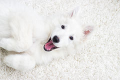 Berger Blanc Suisse puppy Royalty Free Stock Photo