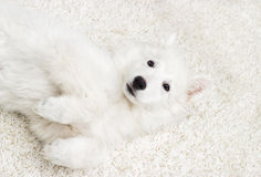 Berger Blanc Suisse puppy fluffy carpet Stock Image