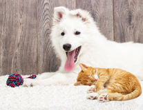 Berger Blanc Suisse puppy and kitten Royalty Free Stock Images