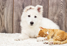 Berger Blanc Suisse puppy and kitten Stock Images