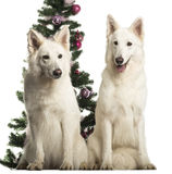 Berger Blanc Suisse sitting in front of Christmas decorations Stock Image
