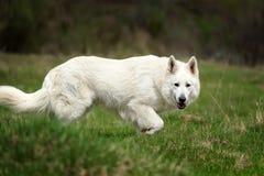 Free Berger Blanc Suisse White German Shepherd Stock Image - 115084791
