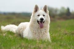 Free Berger Blanc Suisse White German Shepherd Stock Photography - 115084882