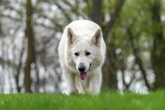 Free Berger Blanc Suisse White German Shepherd Royalty Free Stock Image - 115084926