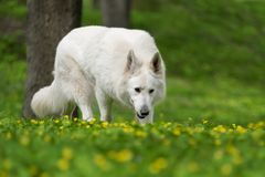 Free Berger Blanc Suisse White German Shepherd Royalty Free Stock Photography - 115084927