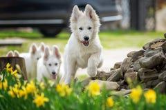 Berger Blanc Suisse White german shepherd poppy. Berger Blanc Suisse. White german shepherd dog in grass royalty free stock images