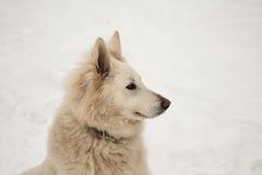 The Berger Blanc Suisse Royalty Free Stock Images