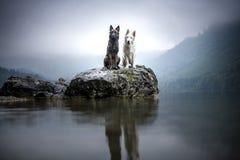 Berger blancsuisse och den belgiska herden på vaggar i ett härligt landskap mellan berg Två hundkapplöpning på sjön arkivbild