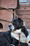 Berger caucasien Photo stock