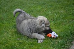 Berger caucasien Baby Dog Playing avec une boule photographie stock
