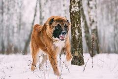 Berger caucasien Dog Running Outdoor dans Milou Forest At Winter image stock