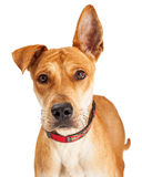 Berger Crossbreed Dog de plan rapproché Image libre de droits