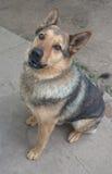 Berger de chien Images libres de droits