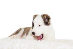 Berger de chiot se trouvant sur un tapis pelucheux Photo stock
