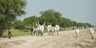 Berger de Dinka et bétail, Soudan Photographie stock libre de droits