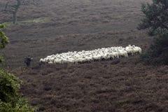Berger de moutons s'occupant de son troupeau Image libre de droits