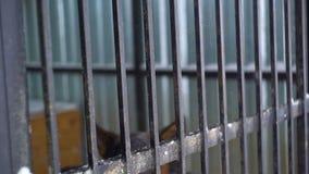 Berger de pure race s'asseyant dans une cage banque de vidéos