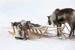 Berger de renne de bébé dans la péninsule de Yamal en hiver près de reind Images stock