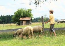 Berger des moutons photo stock