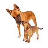 Berger Dog de mère et bébé Images stock