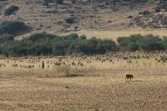Berger et moutons dans la vallée d'Elah photographie stock libre de droits