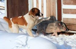 Berger et porc Images stock