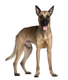 Berger Malinois, 3 years old, standing. In front of white background Stock Photos
