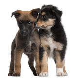 Berger Malinois and Mixed-breed puppy. 7 weeks old, standing in front of white background Royalty Free Stock Photo